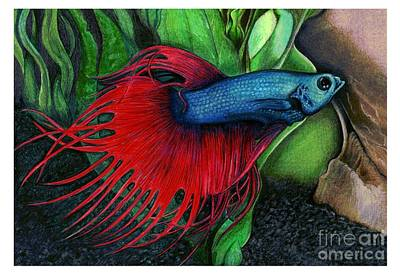 Color Pencil Of A Siamese Fighting Fish Art Print by Debbie Engel