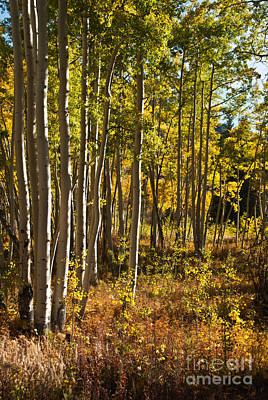 Photograph - Colorado Aspens At Independence Pass by Harry Strharsky
