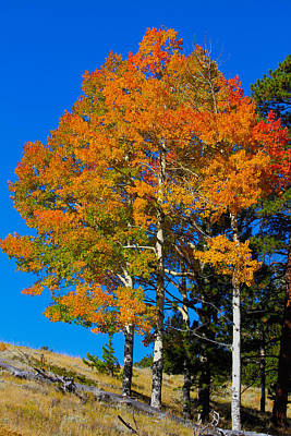 Nature Photograph - Colorado Aspens by Shane Bechler