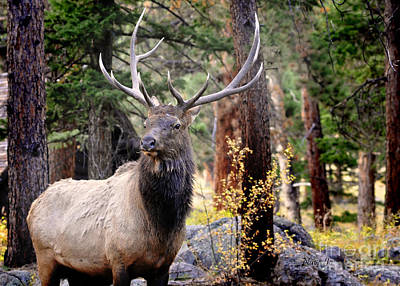 Art Print featuring the photograph Colorado Elk by Nava Thompson