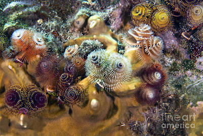 Undersea Photograph - Colorful Christmas Tree Worms, Key by Terry Moore