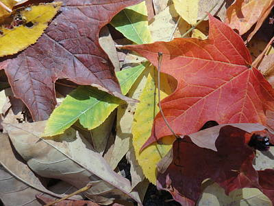 Colorful Fall Leaves Art Print by Kathy Lyon-Smith
