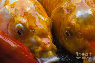 Kauai Girl Photograph - Colorful Koi Close-up by Darcy Michaelchuk