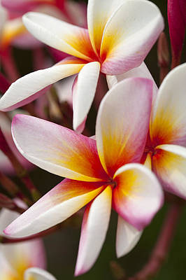 Colorful Plumeria Flowers  Original