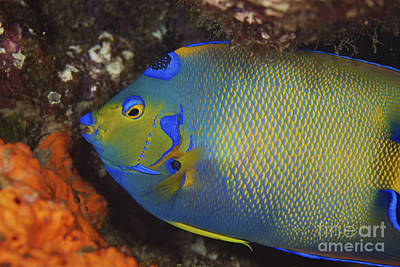 Fish Scales Photograph - Colorful Queen Angelfish by Terry Moore