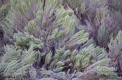 Photograph - Colorful Sagebrush by Larry Keahey