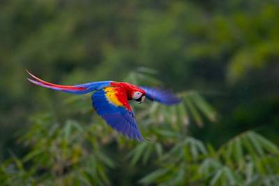 Osa Wall Art - Photograph - Colorful Scarlet Macaw by Roy Toft