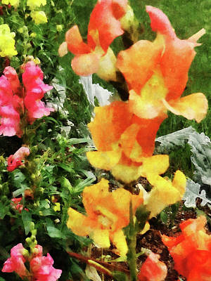 Bloom Photograph - Colorful Snapdragons by Susan Savad