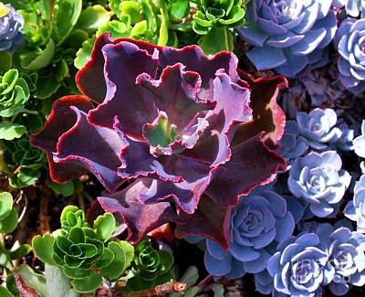 Houseplant Digital Art - Colorful Succulents by Nancy Mueller
