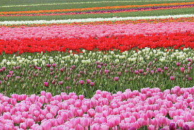 Photograph - Colorful Tulip Fields by Pierre Leclerc Photography
