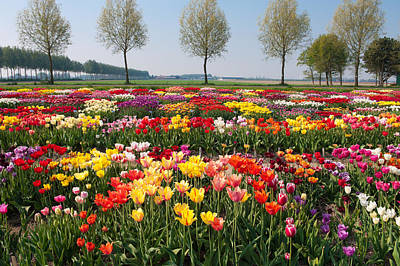 Art Print featuring the photograph Colorful Tulips by Hans Engbers