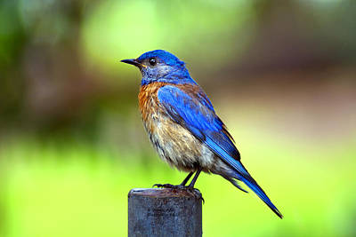 Colorful - Western Bluebird Art Print