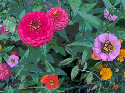 Colorful Zinnia Flowers Art Print by Padre Art