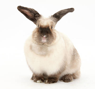 Photograph - Colorpoint Rabbit by Mark Taylor