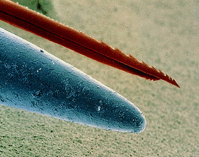Bee Sting Photograph - Coloured Sem Of Point Of Needle With Sting Of Bee. by Power And Syred