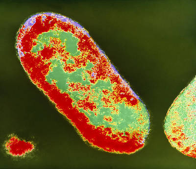 Coloured Tem Of Shigella Sp. Bacteria Art Print by London School Of Hygiene & Tropical Medicine
