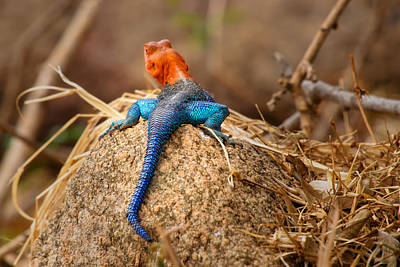 Photograph - Colourful Lizard - Lezard Colore by Michel Legare