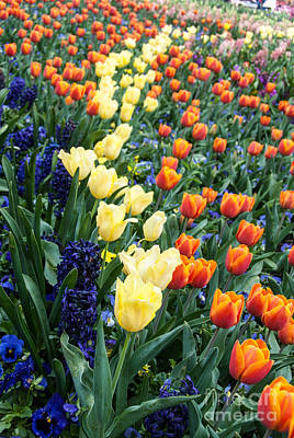 Photograph - Colourful Tulips And Hyacinths by Fran Woods
