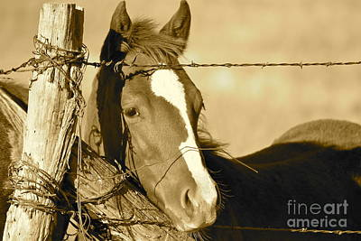 Photograph - Colt In Sepia by Pamela Walrath