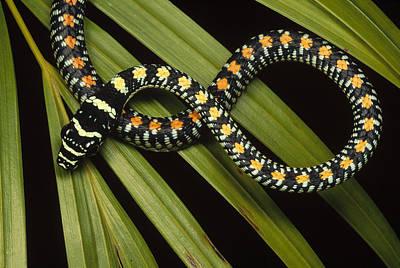 Photograph - Colubrid Snake Boiga Sp A Flying Snake by Mark Moffett