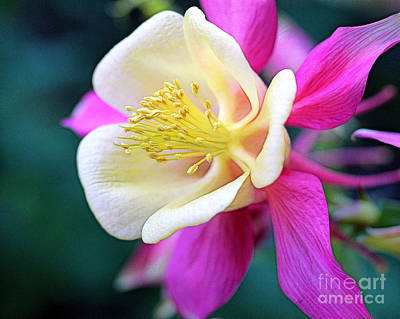 Photograph - Columbine 2 by Judi Bagwell