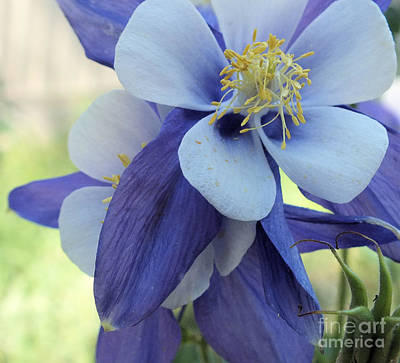 Photograph - Columbine Blue 1 by Tammy Herrin
