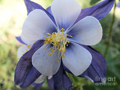 Photograph - Columbine Blue 2 by Tammy Herrin
