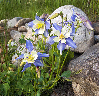 Photograph - Columbine Colorado State Flower by James Steele