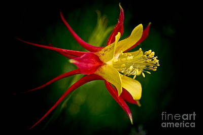 Photograph - Columbine by Larry Carr