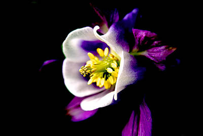 Photograph - Columbine by Van Corey