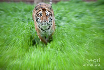 Lsu Photograph - Coming To Get You by Keith Kapple