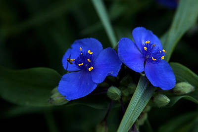 Photograph - Commelina by Emanuel Tanjala