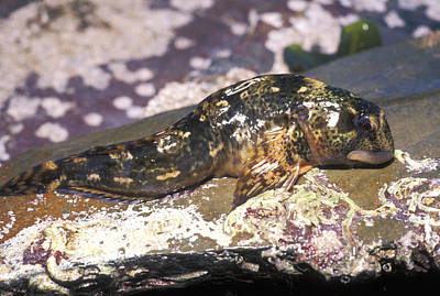 Fish Out Of Water Photograph - Common Blenny by Dr Keith Wheeler