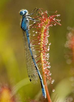 Common Blue Damselfly On A Sundew Leaf Art Print by Bob Gibbons