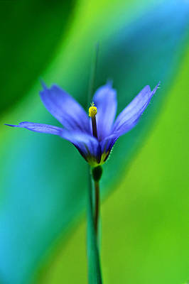 1 Object Photograph - Common Blue Eyed Grass Sisyrinchium by Robert Postma