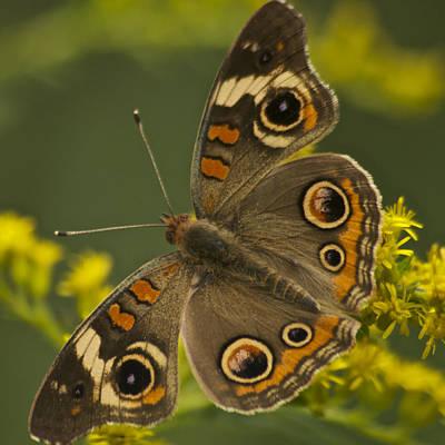 Buckeye Butterfly Photograph - Common Buckeye Butterfly 3021 by Michael Peychich