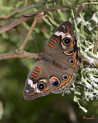 Photograph - Common Buckeye Butterfly Din182 by Gerry Gantt
