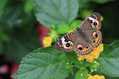 Photograph - Common Buckeye II by Rick Berk