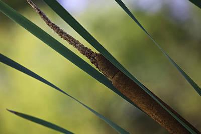 Photograph - Common Cattail by Perla Copernik