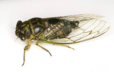 Common Cicada Print by Ted Kinsman