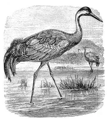 Common Crane Art Print by Granger