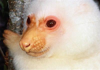 Photograph - Common Cuscus  by Mark Moffett