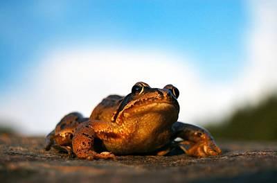 Photograph - Common Frog by Gavin Macrae