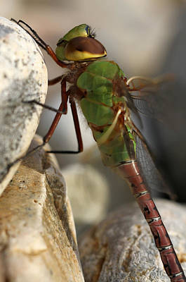 Photograph - Common Green Darner Dragonfly by Juergen Roth