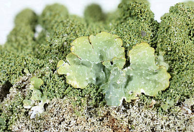 Common Greenshield Lichen Art Print by Ted Kinsman