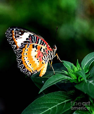 Giuseppe Cristiano - Common Lacewing Butterfly  by Terry Elniski