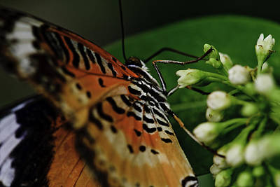 Photograph - Common Lacewing by Perla Copernik