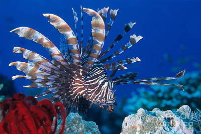 Common Lionfish Print by Franco Banfi and Photo Researchers
