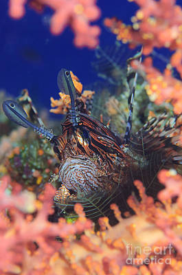Photograph - Common Lionfish Resting Amongst Coral by Steve Jones