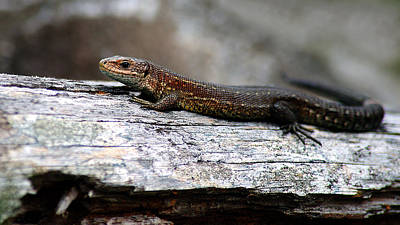 Photograph - Common Lizard by Gavin Macrae